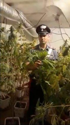 cassia_piantagione_droga