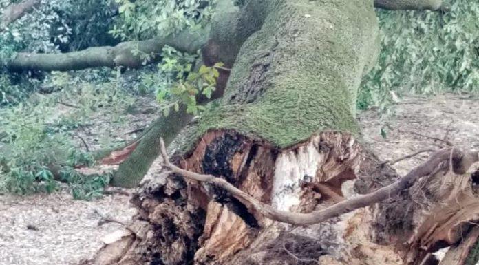 albero_villa_doria