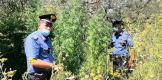 roccasecca_piante_marijuana